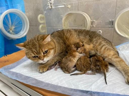 кесарево сечение кошке